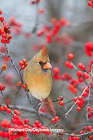 01530-21708 Northern Cardinal (Cardinalis cardinalis) female in Common Winterberry bush (Ilex verticillata) in winter, Marion Co. IL