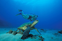 A diver observes a Green Sea Turtle, Chelonia mydas, as it rests on a sand patch in shallow water. Maui, Hawaii, Pacific Ocean
