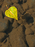 A Aspen leaf floats in shallow water at the Lake Tahoe shore