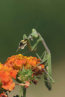 Praying Mantis, Mantidae, adult eating on butterfly prey perched on Texas Lantana (Lantana urticoides), Willacy County, Rio Grande Valley, Texas, USA, June 2006