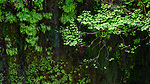 Columbia River Gorge, Oregon, Maidenhair ferns, vine maples