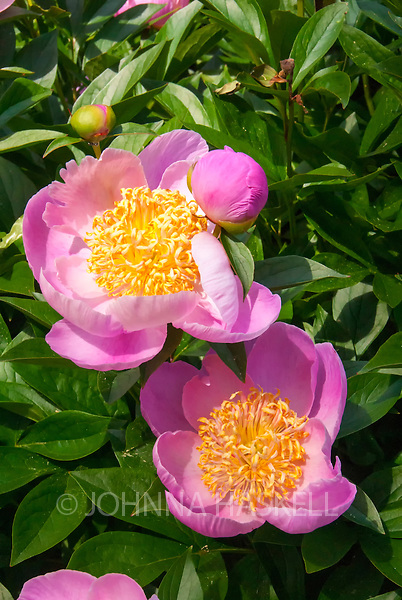 Pink peonies with yellow centers are very fragrant in June.
