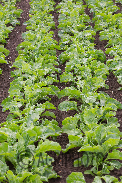 Sugar Beet  plants <br /> Picture Tim Scrivener 07850 303986