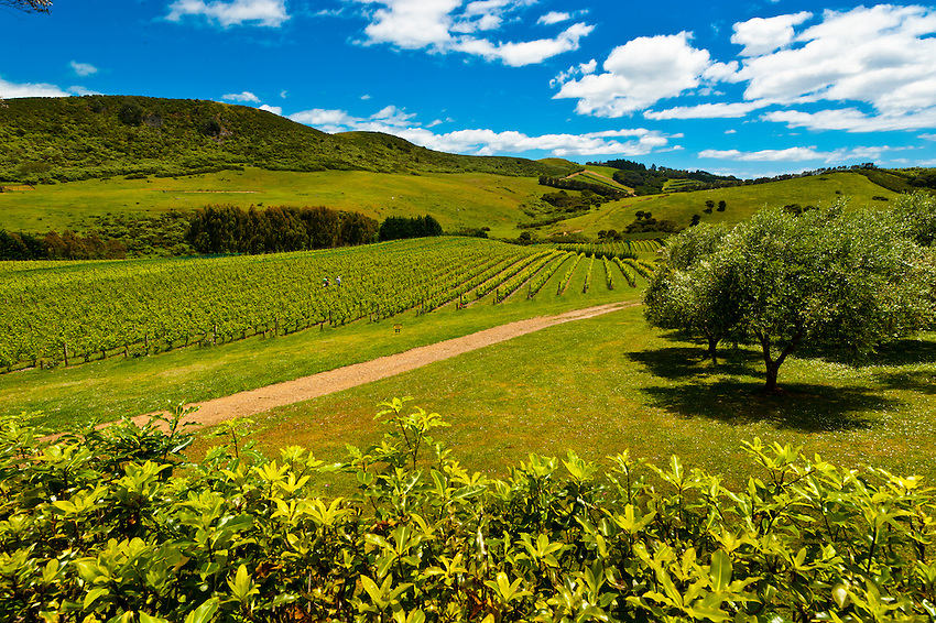 Stonyridge Vineyard, Onetangi Valley, Waiheke Island, Hauraki Gulf, near Auckland, New Zealand