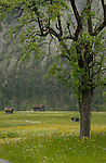Tree and cattle shelters, Imst district, Tyrol/Tirol, Austria, Alps.