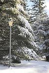 Winter hemlocks with snow and streetlamp.