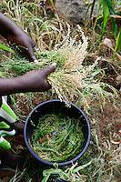 KENYA, Mount Kenya East, Mitunguu, village Karima Kaathi, woman harvest prosho millet / KENIA, Frau erntet Rispen Hirse