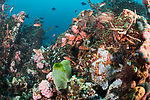 Verde Island, Oriental Mindoro, Philippines; a mottled purple, red and orange giant frogfish hiding amongst the coral reef