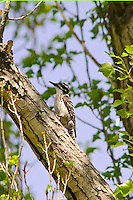 NUTTALLS WOODPECKER PAUSING FOR A PICTURE
