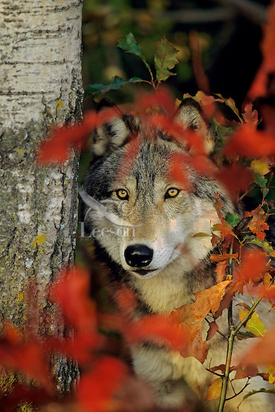 Gray Wolf (Canis lupus) among fall colored leaves.  Minn.