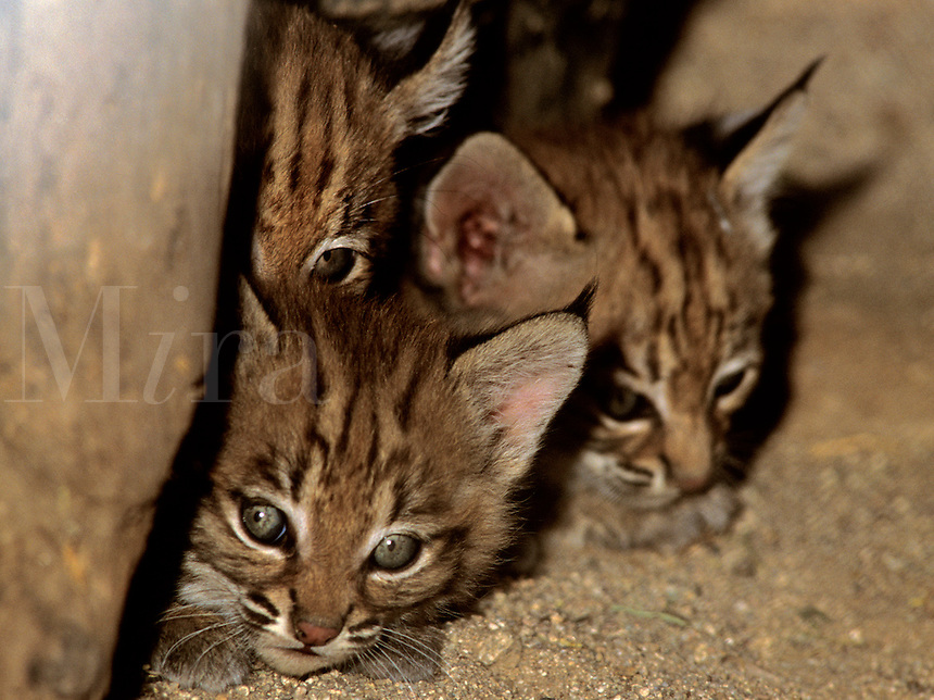 Bobcat (Lynx rufus), young (in captivity)
