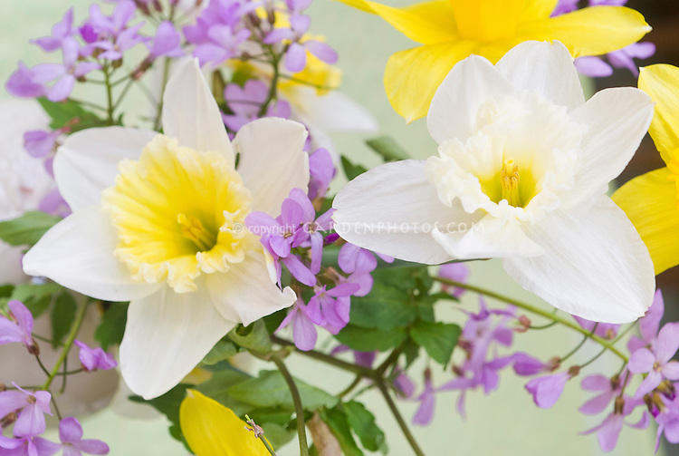 Cut flowers in spring Narcissus daffodil bulbs and Cardamine purple flowers, bouquet of cutflower bunch with spring blooming bulbs and perennials