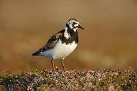 Adult female Ruddy Turnstone (Arenaria interpres) in breeding plumage. Yukon Delta National Wildlife Refuge. Alaska. June.