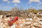 Milkweed Grasshopper (Phymateus morbillosus), Little Karoo, South Africa