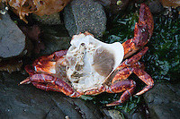Molted Red Rock Crab (Cancer productus) Shell on Shoreline of Russell Island, Gulf Islands National Park Reserve, British Columbia, Canada