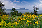 Goldenrod provide a colorful foreground to a view of Mount Norwottuck of the Holyoke Mountain Range in Amherst, Massachusetts. The Holyoke Range is one of the few that runs from East to West.