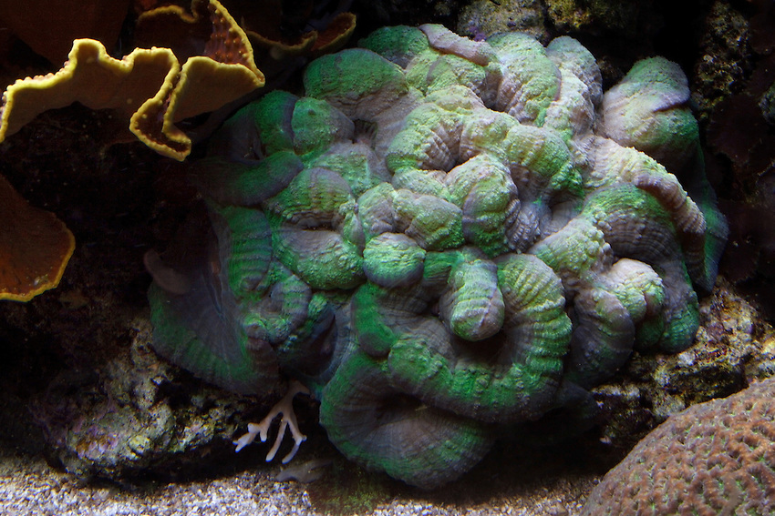 """Brain corals are found in shallow warm-water coral reefs in all the world's oceans. They are part of the phylum Cnidaria, in a class called Anthozoa or """"flower animals."""" The life span of the largest brain corals is 900 years."""