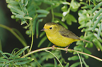 Wilson's Warbler, Wilsonia pusilla, female, South Padre Island, Texas, USA, May 2005