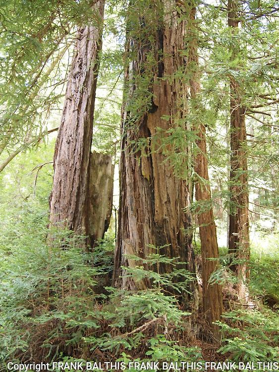 Coast redwoods near West Waddell Creek in Big Basin State Park