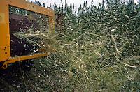 La coltura della canapa in Italia. Carmagnola(TO), sede dell'Assocanapa.Uso industriale della canapa.Fibra e canapulo, mietitura