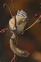 Least Chipmunk, Tamias minimus, adult eating berries, Grand Teton NP,Wyoming, USA