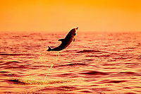 Pantropical Spotted Dolphin calf, Stenella attenuata, leaping at sunset, off Kona Coast, Big Island, Hawaii, Pacific Ocean