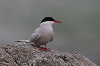Küstenseeschwalbe, Küsten-Seeschwalbe, Küsten - Seeschwalbe, Sterna paradisaea, Arctic Tern, Sterne arctique