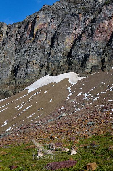 Rocky Mountain Bighorn Sheep rams or Mountain Sheep rams (Ovis canadensis).  Glacier National Park, Montana.  Fall.