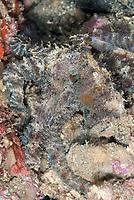 Algae Octopus, Abdopus aculeatus, night dive, Nudi Falls dive site, Lembeh Straits, Sulawesi, Indonesia, Pacific Ocean