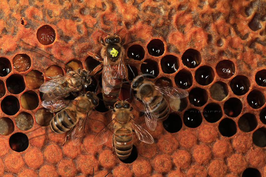 A queen marked with a yellow dot.
