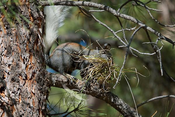 Kaibab Squirrel (Sciurus aberti Kaibabensis) gathering material to line its winter nest.  Fall.  North Rim Grand Canyon.