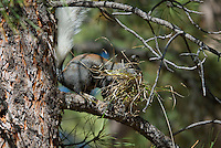 Kaibab Squirrel (Sciurus aberti Kaibabensis) gathering material to line its winter nest.  Fall.  North Rim Grand Canyon.