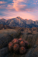 A lone cactus catches sunrise light amidst the rocky landscape of California's Alabama Hills, as the alpenglow illuminates Lone Pine peak in the distance.
