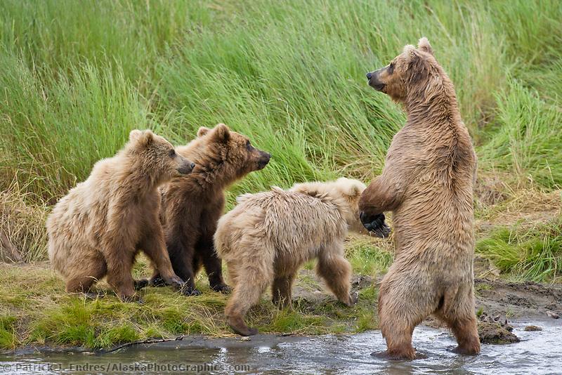Brown bear sow and cubs, Katmai National park, southwest, Alaska.