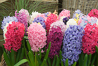 Mixed color Hyacinths: Assorted Hyacinthus orientalis includes Hollyhock, 8711, Blue Tango,  Jan Bos, H. orientalis minor, Delft Blue, Blue Eyes, together