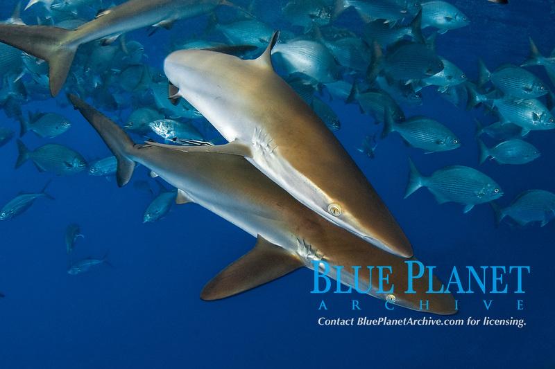 Silky Shark, Carcharhinus falciformis, Gulf of Mexico, Louisiana, USA.
