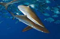 Silky Shark, Carcharhinus falciformis, Gulf of Mexico, Louisiana, USA.