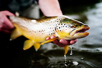 An angler releases a brown trout on a tributary of the Beaverhead River near Dillon, Montana.