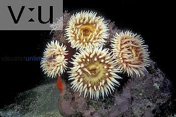 Rose Anemone group ,Urticina piscivora,