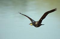 Kormoran, im Flug, Flugbild, fliegend, Phalacrocorax carbo, great cormorant
