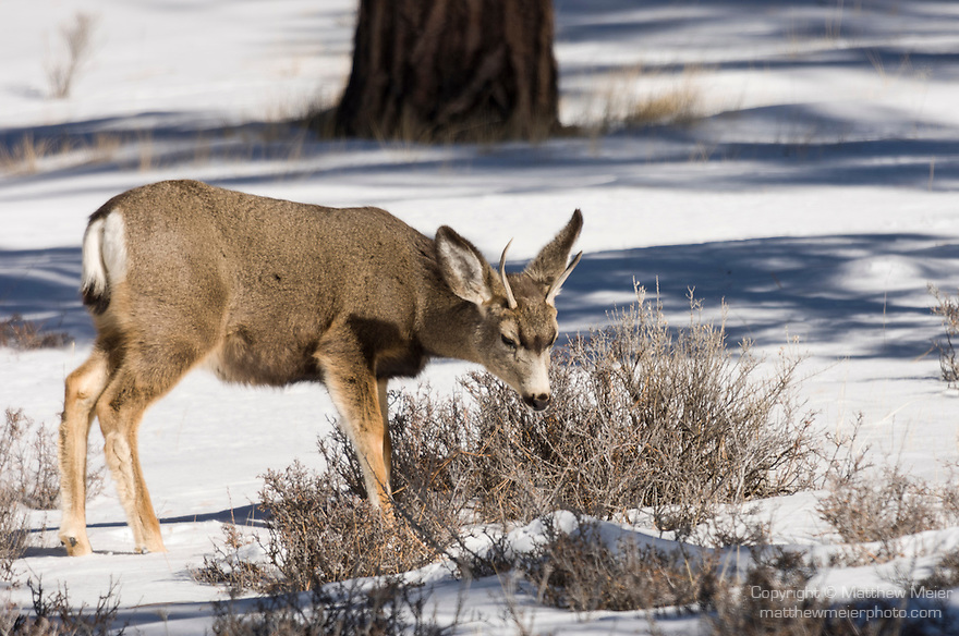 Bryce Canyon National Park, Utah; a young male Mule Deer (Odocoileus hemionus) grazing on grasses exposed through the snow in winter