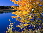 Upper Klamath Basin, OR<br /> Quaking Aspen (Populus tremuloides) in brilliant fall color on the shore of Upper Klamath Lake, at Shoalwater Bay