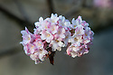Viburnum x bodnantense 'Dawn', late January.
