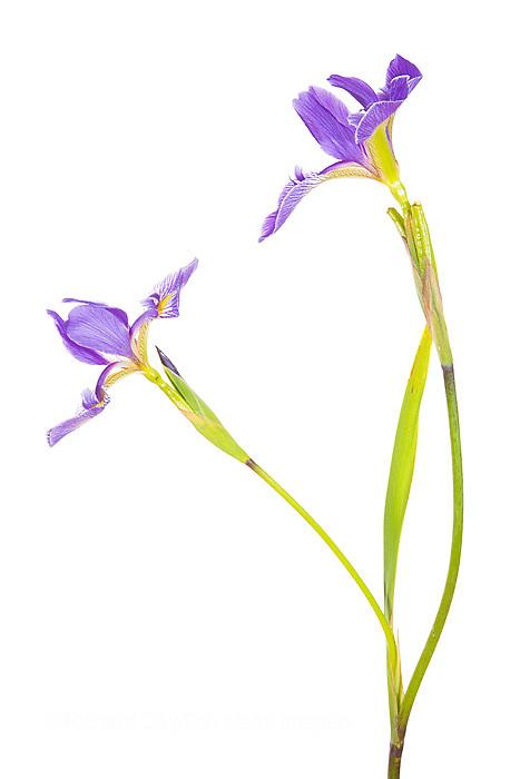 30099-00103 Blue Flag Iris (Iris versicolor) with white background, Marion Co., IL