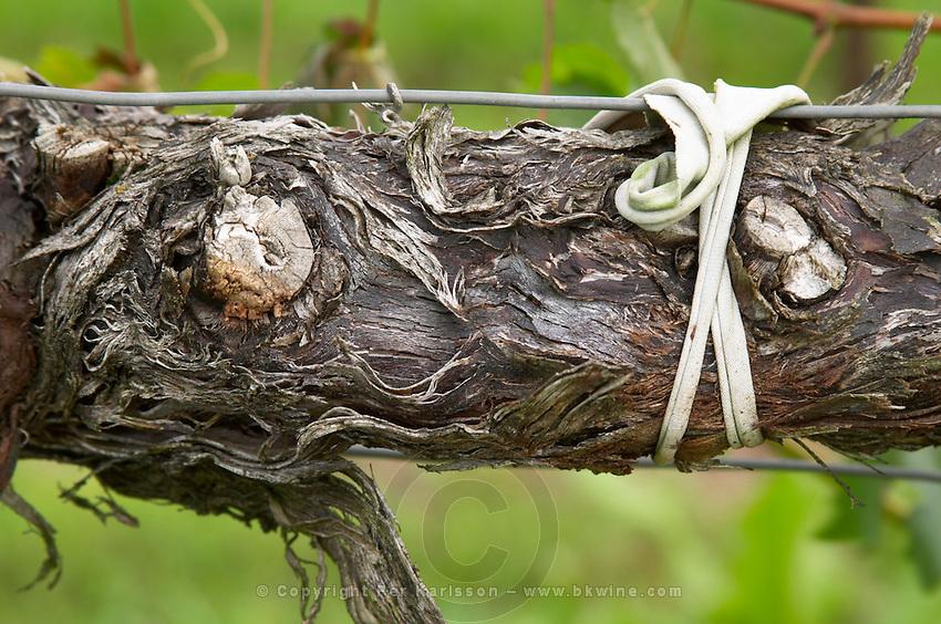 Old vine. Detail. Chateau de Haux, Bordeaux, France