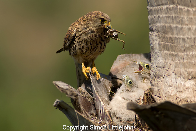 Kestrel standing on edge of nest with grasshopper in it´s beak about to feed it´s chicks