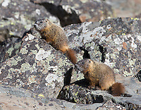 A family of yellow-bellied marmots made its home in the boulders at Sheepeater Cliff.