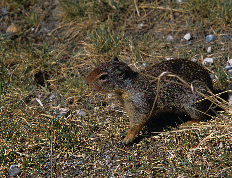 A small ground squirrel sits outside its den along near one of the turnouts along the Icefields Parkway in Alberta Canada.