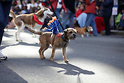 Dogs on parade during the 66th Annual Raleigh Christmas Parade, Sat., Nov. 20, 2010.