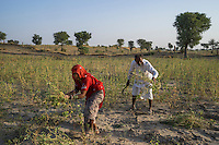Guar farmer Pemaram Jangu, 70, and his wife Jhuma Jangu, 65, harvest their crop in their field in Hameira village, Bikaner, Rajasthan, India. Non-Profit Organisation Technoserve works with Guar farmers in Bikaner to provide technical farming knowledge to them, improving their crop yield through good agricultural practices. Photograph by Suzanne Lee for Technoserve